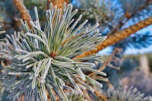 árvores de inverno foto