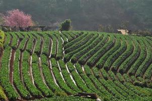linha de agricultura biológica de morango foto