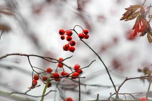 bagas vermelhas de inverno foto