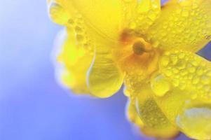 jasmim de inverno depois da chuva foto