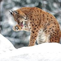 belo lince selvagem no inverno foto