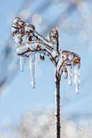 planta congelada no inverno foto