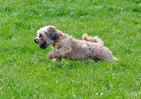 cute bichon running foto