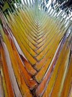 imagem de fundo da árvore do viajante de ravenala, close-up