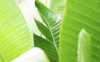 folhas de bananeira molhadas foto