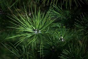 agulhas de pinheiro foto