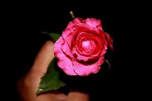 segurando uma rosa foto