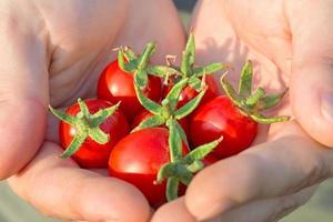 pequenos tomates vermelhos