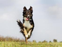 cão border collie foto