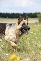 bom cão pastor alemão correndo foto