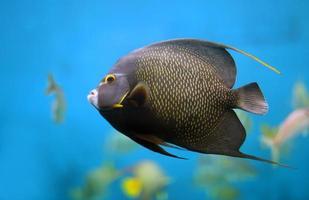 peixe anjo francês foto