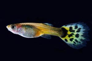peixe guppy foto