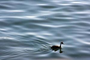 pássaro nadando foto