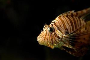luz do ponto no peixe-leão foto