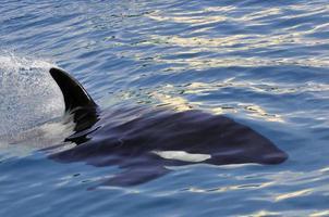 baleia assassina nadando rápido