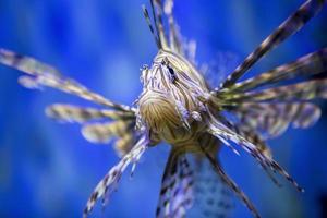 peixe-Leão. foto