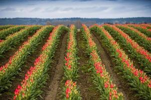 campo de tulipa vermelha