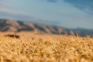 crescimento de trigo foto