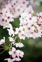 botões de flor de cerejeira, dof raso