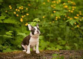 filhote de buldogue francês de terrier de boston foto