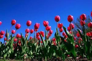 tulipas no jardim público de boston durante a primavera foto