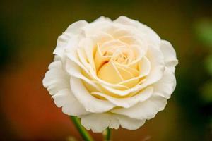 rosa perfumada em plena floração foto