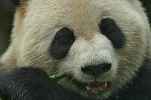 panda comendo bambu foto
