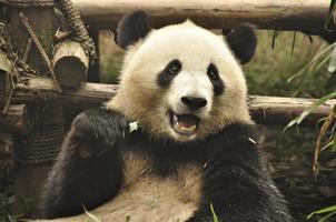 panda gigante em chengdu, china foto
