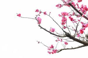 Flor de ameixa