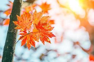 folha de bordo no outono na Coréia.