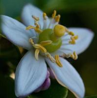 flor de limão asiático foto