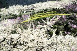 campo de pêssego