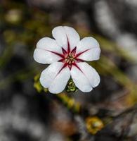 adenandra villosa flor, cape point, áfrica sul foto