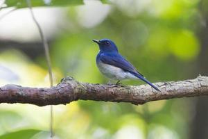 papa-moscas azul de hainan foto
