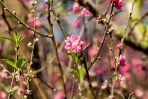 flor de cerejeira do vietnã, hanoi, vietnã foto