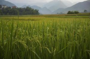 campo de arroz na época da colheita na cidade de tu le foto