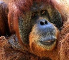 retrato de macro de orangotango foto