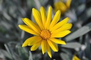 gazanias amarelas foto