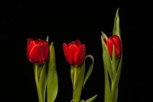 tulipas vermelhas em fundo preto foto