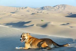 cão em uma duna de areia foto