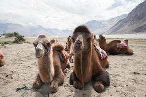 camelos no deserto foto