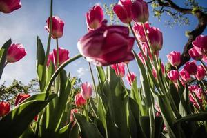 lindas tulipas cor de rosa em um jardim verde de Istambul foto