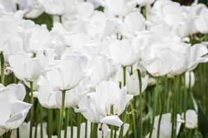 tulipas brancas em um jardim verde de Istambul foto