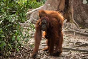 família orangotango em Bornéu. foto