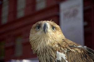 águia real foto