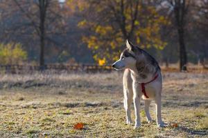 Husky siberiano. foto