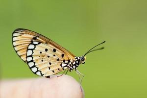 borboleta sentado na flor (crisântemo)