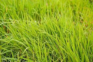 brotos verdes de grama de primavera na água