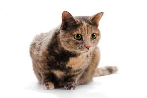 fêmea de gato. foto