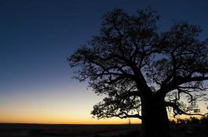 pôr do sol árvore boab foto